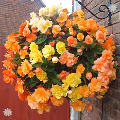 Begonia Illumination Apricot Shades x 12 plugs