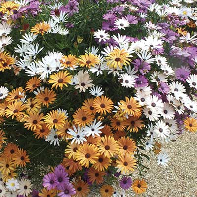 Image of 12 Sunbrella Osteospermum Plug Plants