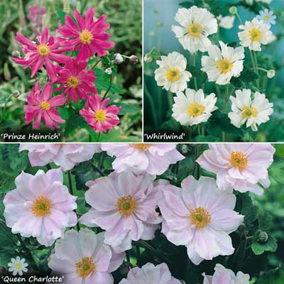 Image of Hardy Japanese Anemone plant collection - 3 colours in 9cm pots