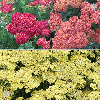 Image of Achillea Summer Fruits collection x 6
