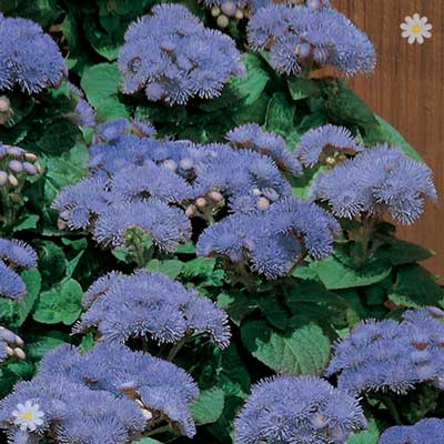 Image of Ageratum Blue 40 maxiplugs