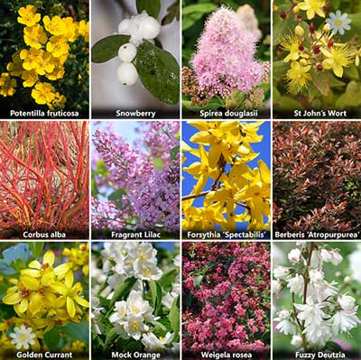 The Ultimate Winter Hardy Shrub Collection - 12 bushes