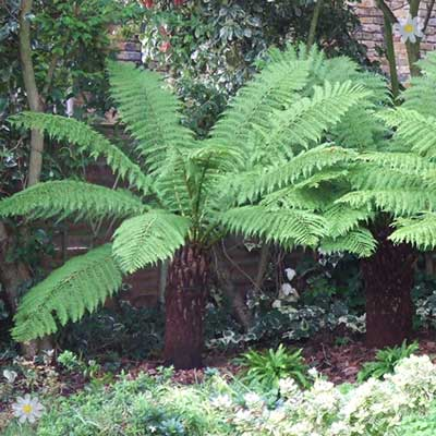 Image of Hardy Tree Fern (Dicksonia antarctica) log - 2 foot