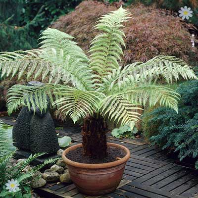 Image of Hardy Tree Fern potter with 500ml tree fern feed