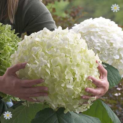 Image of Tree Hydrangea Incrediball (Strong Annabelle) plant in 14cm pot