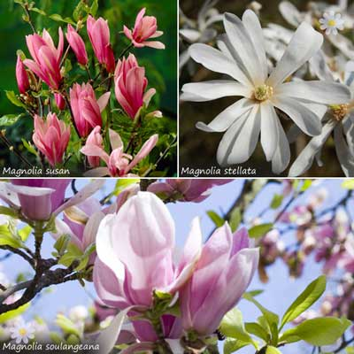 Image of Magnolia tree Collection - set of 3 varietiesin 9cm pots