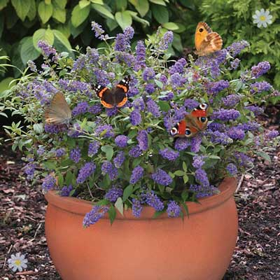 Image of Dwarf Patio Buddleia 'Blue Chip' plants - pack of 3 in 9cm pots