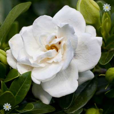 Image of Hardy Gardenia Crown Jewels plant in 9cm pot