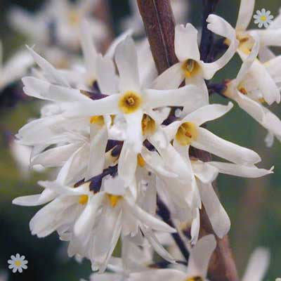 Image of Abeliophyllum distichum (White Forsythia) plant in 9cm pot