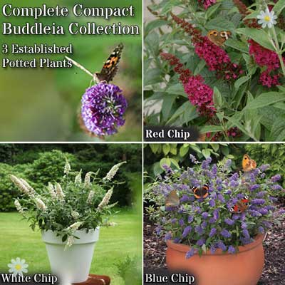 Image of Dwarf Patio Buddleia Chip plant collection - red, white & blue