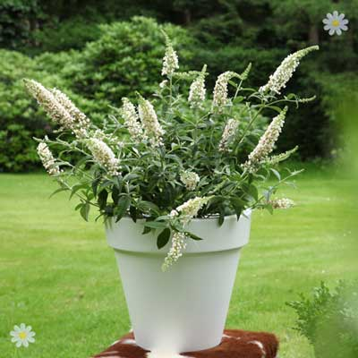 Image of Dwarf Patio Buddleia 'White Chip' plants - pack of 3 in 9cm pots
