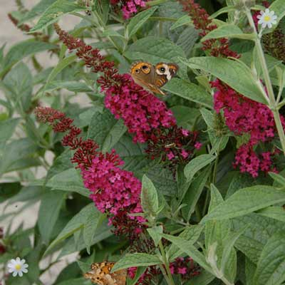 Image of Dwarf Patio Buddleia 'Red Chip' - pack of 3 9cm pots