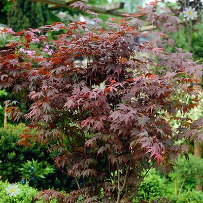 Image of Japanese Maple (Acer) Plant Collection - 3 varieites in 10.5cm pots