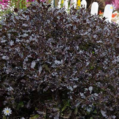 Image of Pittosporum 'Tom Thumb' plant in 1L pot