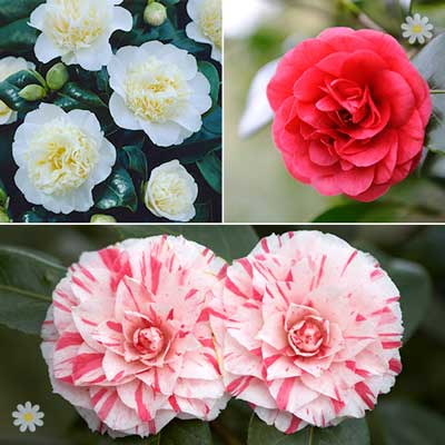 Image of Camellia plant collection 3 varieties in 1L pots