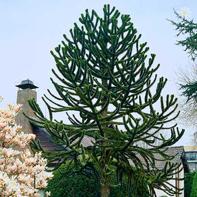 Image of Araucaria araucana (Monkey Puzzle tree) 1L pot 20cm tall