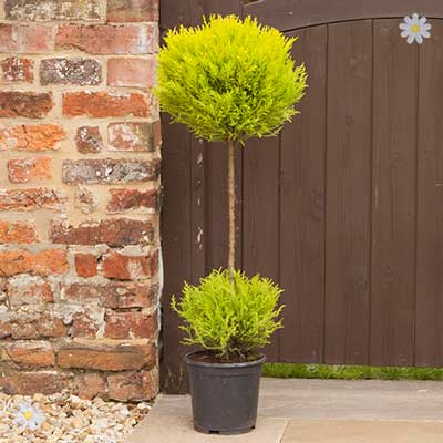 Plants & Seeds Cupressus Goldcrest Duo Ball Topiary tree 90cm (single)