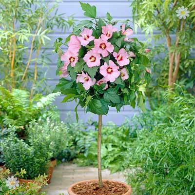 Hardy Hibiscus 'Hamabo' (Pink) 1M standard tree YouGarden