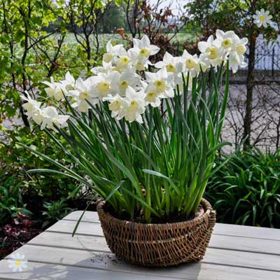 Garden Narccisi Thalia Size:8/10 pack of 25 bulbs