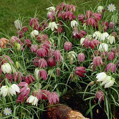 Garden Fritillaria meleagris mixed Size:5/6 pack of 30 bulbs