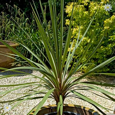 Image of Pair of Cordyline australis 1M tall plants
