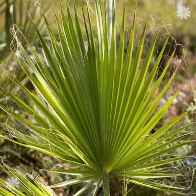 Image of Giant Washingtonia Cotton Palm 1.5M tall