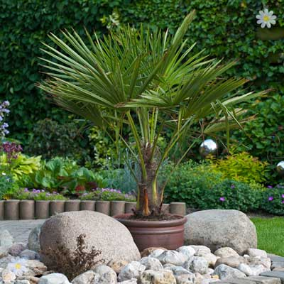 Image of Hardy Fan Palm tree Trachycarpus 80-90cm with trunk