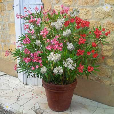 Image of New Oleander Tricolour plant - 3 colours in one 19cm pot