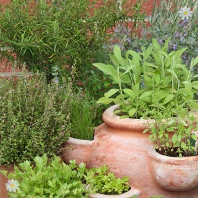Kitchen Garden Hardy Herb collection