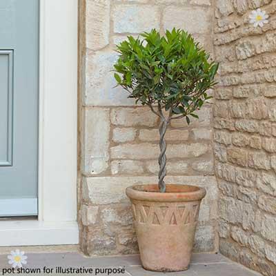 Pair Mini Plaited Standard Bay Trees 60cm YouGarden