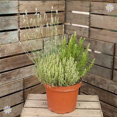 Herb Trio Pot 7.5L - 3 varietiess in 1 pot YouGarden