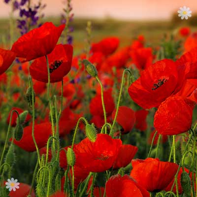 Flanders Poppy seeds (pack of 2000) YouGarden