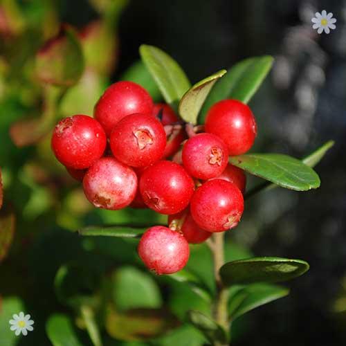 Cranberry Bushes For Sale