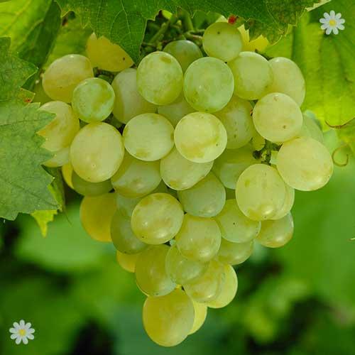 Table grape 39 superior seedless white 39 standard - Seedless grape cultivars ...