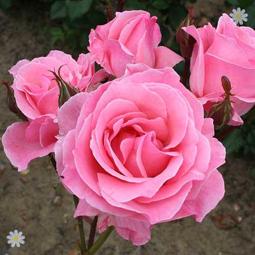 rose 39 queen elizabeth 39. Black Bedroom Furniture Sets. Home Design Ideas