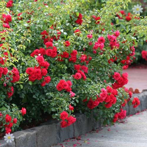 Red Gooseberry Bush