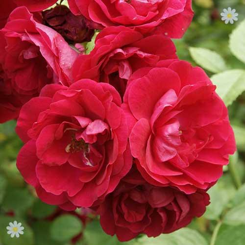 rose 39 scarlet queen elizabeth 39. Black Bedroom Furniture Sets. Home Design Ideas
