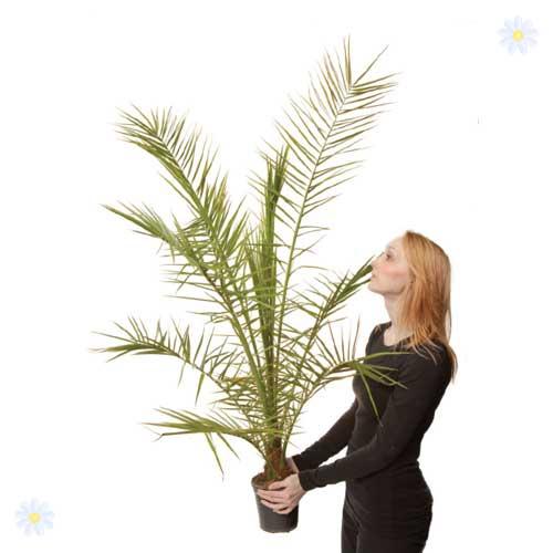 phoenix canariensis canary island date palms. Black Bedroom Furniture Sets. Home Design Ideas