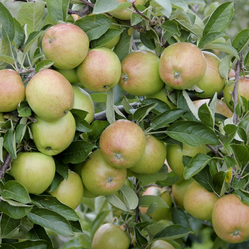 mature braeburn apple tree