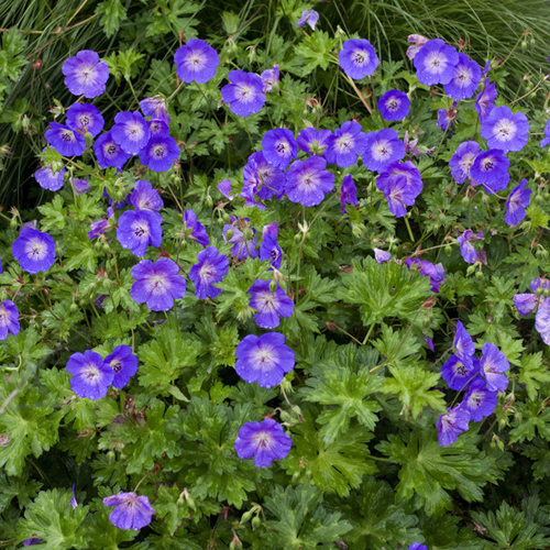 Hardy geranium 39 rozanne 39 rhs plant of the centenary for Hardy plants for the garden