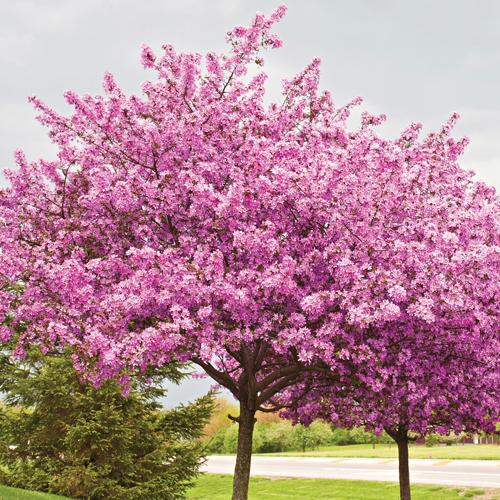 Chinese redbud cercis 39 avondale 39 for Hardy flowering trees