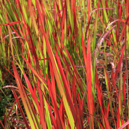 Imperata 39 red baron 39 blood grass for Red perennial grass