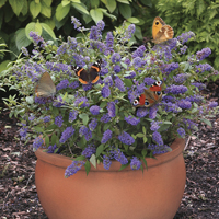 Dwarf Patio Buddleia 'Blue Chip' pack of 3 in 9cm pots