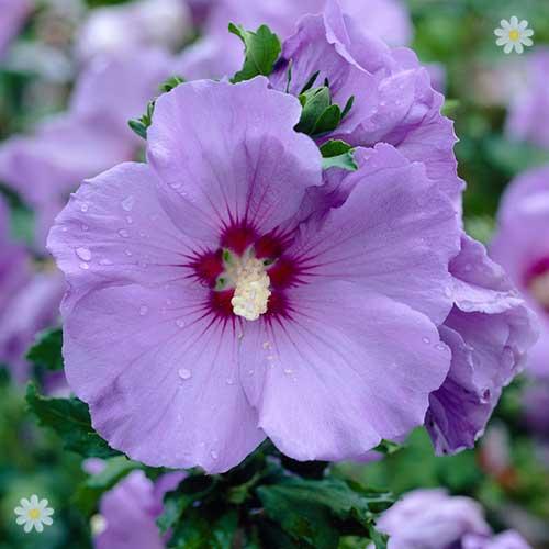 Hibiscus Varieties Pictures